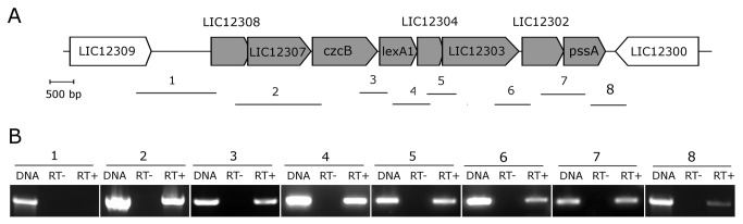 Genomic and transcriptional organization of the lexA1 region. (A) Schematic representation of the lexA1 genomic region. The arrows indicate the direction of transcription. The fragments amplified by the primer pairs used for the RT-PCR analysis are indicated by numbered lines below the genes. (B) Composite image of agarose gels from resulting RT-PCR reactions, using either genomic DNA (DNA), RNA (RT-) or cDNA (RT+) as templates. The numbers refer to the respective fragments shown in (A).