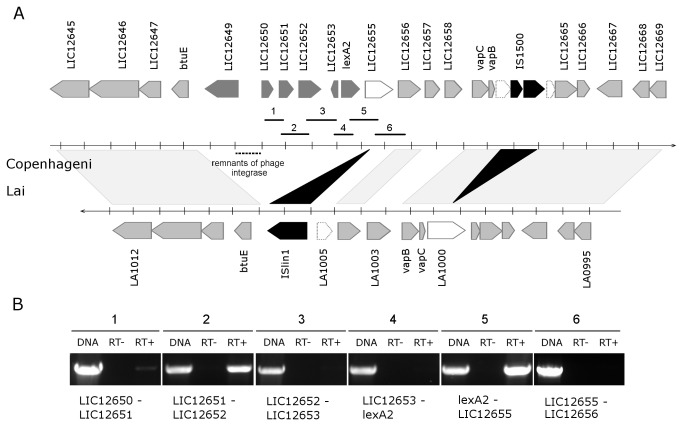 Genomic and transcriptional organization of the lexA2 region. (A) Schematic representation of the lexA2 genomic region from L. interrogans serovar Copenhageni (upper) compared to the equivalent region of serovar Lai (lower). Arrows represent predicted genes and transcription orientation. Light grey arrows represent genes orthologous between genomes, dark grey genes that are specific to Copenhageni and black arrows indicate genes encoding transposases. The white arrows represent genes with truncated versions in Lai genome (traced arrows) by insertion of IS elements. Remnants of a phage integrase are indicated by a traced line. The numbered bars below the genes indicate the amplified fragments corresponding to the primer pairs used in the RT-PCR analyses. (B) RT-PCR reactions, using either genomic DNA (gDNA), RNA (RT-) or cDNA (RT+) as templates, and primers flanking intergenic regions. The numbers refer to the respective fragments shown in (A).