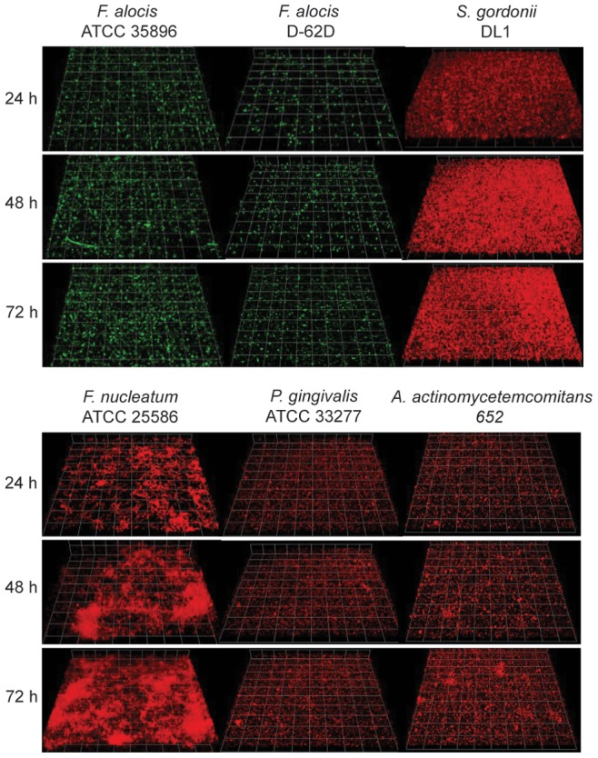 CLSM projections of monospecies communities of F.alocis strains ATCC 35896 and D-62D (green, stained with FITC), S. gordonii DL-1, F. nucleatum ATCC25586, A. actinomycetemcomitans 652, or P. gingivalis ATCC33277 (red, stained with hexidium iodide) after 24 h, 48 h, and 72 h.