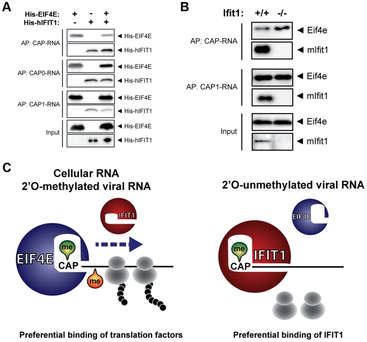 Competition between IFIT1 and translation factor EIF4E for mRNA templates. ( a ) Recovery of recombinant human EIF4E based on RNA affinity binding in the presence or absence of IFIT1. Streptavidin beads were coupled to 250 ng of the indicated RNA and mixed with 5 µg of recombinant His-tagged hIFIT1 and/or His-tagged EIF4E, as indicated. Bound proteins were analysed by western blotting with antibodies directed against the His-tag. ( b ) As in ( a ), except that RNA-coated beads were incubated with lysates of interferon-treated Ifit1 +/+ and Ifit1 −/− mouse embryo fibroblasts. Bound proteins were analysed by western blotting with antibodies directed against murine Eif4e and mIfit1. ( c ) Proposed model for IFIT1-mediated translational inhibition of 2′O-unmethylated viral RNA. Capped and 2′O-methylated cellular and viral RNA is bound by EIF4E to initiate translation. Viral mRNA lacking 2′O methylation at the first ribose is recognized by IFIT1 which prevents binding of cellular factors required for efficient translation. The model is based on data presented here and elsewhere [16] , [17] , [19] , [20] .