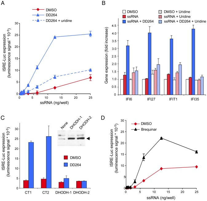 Inhibition of pyrimidine biosynthesis accounts for the amplified cellular response to ssRNA. ( A ) HEK-293 cells with the ISRE-luciferase reporter gene (STING-37 cells) were transfected with increasing doses of ssRNA, and incubated in the presence of DD264 (80 µM) or DMSO alone in 96-well cultures plates. Culture medium was supplemented or not with uridine. After 24 hours, luciferase expression was determined. Experiment was performed in triplicate, and data represent means ± SD. ( B ) Cells were transfected with 20 ng/well of ssRNA in 12-well plates, and incubated in the presence of DD264 (80 µM) or DMSO alone. Culture medium was supplemented or not with uridine. After 24 hours, expression levels of IFI6, IFI27, IFIT1 and IFI35 were determined by qRT-PCR. Data were normalized relative to control housekeeping genes (GAPDH, HPRT1, and 18S). Experiment was performed in duplicate, and data represent means ± SD. ( C ) HEK-293 cells with the ISRE-luciferase reporter gene (STING-37 cells) were transfected in 96-well plates with 50 ng of an expression vector encoding for DHODH (using two independent plasmid preparations of the same construct, #1 and #2). DHODH overexpression was assessed by western-blot analysis (upper right panel). Alternatively, cells were transfected with expression vectors encoding for control proteins (CT1 and CT2, see Materials and Methods for details). After 48 hours, cells were transfected with 6 ng/well of ssRNA, and incubated in the presence of DD264 (80 µM) or DMSO alone. After 24 hours, luciferase expression was determined. Experiment was performed in duplicate, and data represent means ± SD. ( D ) HEK-293 cells with the ISRE-luciferase reporter gene (STING-37 cells) were transfected with increasing doses of ssRNA, and incubated in the presence of brequinar (200 nM) or DMSO alone in 96-well cultures plates. After 24 hours, luciferase expression was determined. Experiment was performed in duplicate, and data represent means ± SD.
