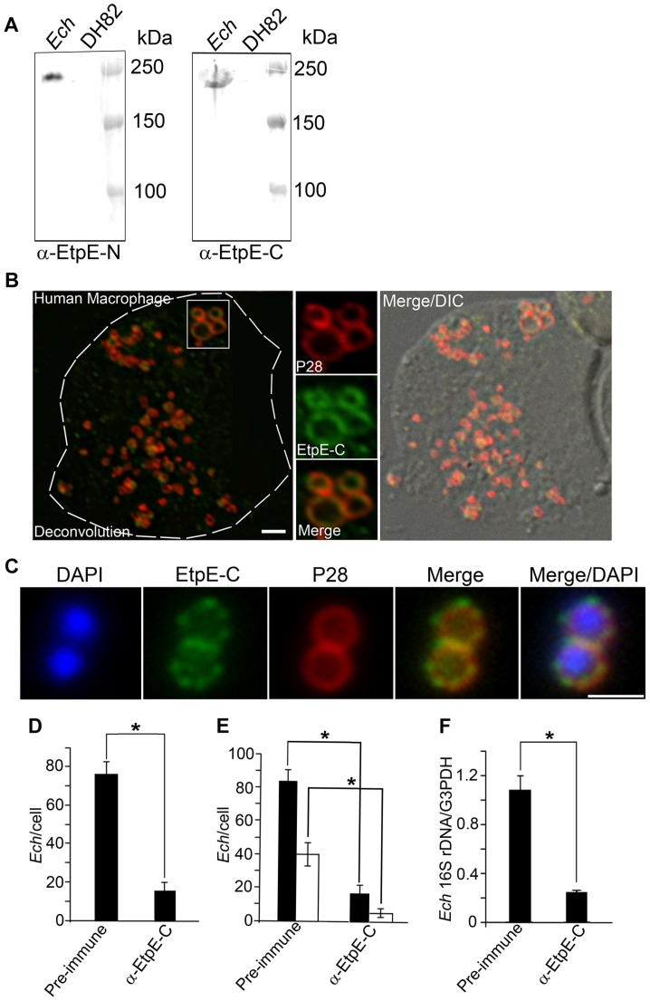 EtpE-C is exposed at the bacterial surface, and anti-EtpE-C neutralizes E. chaffeensis infection in vitro . (A) Western blot analysis of E. chaffeensis- infected ( Ech ) and uninfected DH82 cells at 60 h pi using anti-EtpE-N (α-EtpE-N) and anti-EtpE-C (α-EtpE-C). (B) Double immunofluorescence labeling of E. chaffeensis- infected human primary macrophages derived from peripheral blood monocytes at 56 h pi. Cells were fixed with PFA, permeabilized with saponin, and labeled with anti-EtpE-C and anti- E. chaffeensis major outer membrane protein P28. The white dashed line denotes the macrophage contour. The boxed region indicates the area enlarged in the smaller panels to the right. Merge/DIC: Fluorescence images merged with Differential interference contrast image (DIC). A single z -plane (0.4 µm thickness) by deconvolution microscopy was shown. Scale bar, 2 µm. (C) E. chaffeensis was incubated with DH82 cells for 30 min and double immunofluorescence labeling was performed using anti-EtpE-C and anti- E. chaffeensis P28 without permeabilization. DAPI was used to label DNA. Scale bar, 1 µm (see also suppl. Fig. S2 ). (D) Numbers of E. chaffeensis bound to RF/6A cells at 30 min pi. Host cell-free E. chaffeensis was pretreated with anti-EtpE-C or preimmune mouse serum and incubated with RF/6A cells for 30 min. Unbound E. chaffeensis was washed away, cells were fixed with PFA, and E. chaffeensis labeled with anti-P28 without permeabilization. E. chaffeensis in 100 cells were scored. (E) Numbers of E. chaffeensis internalized into RF/6A cells at 2 h pi. E. chaffeensis was pretreated with anti-rEtpE-C or preimmune mouse serum and incubated with RF/6A cells for 2 h. To distinguish intracellular from bound E. chaffeensis , unbound E. chaffeensis was washed away and cells were processed for two rounds of immunostaining with anti-P28; first without permeabilization to detect bound but not internalized E. chaffeensis (AF555–conjugated secondary antibody) and second round with sapon