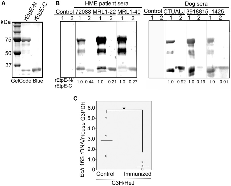 EtpE is expressed by E. chaffeensis in HME patients and infected dogs, and immunization with rEtpE-C protects mice against E. chaffeensis challenge. (A) SDS-PAGE analysis and GelCode Blue staining of rEtpE-N (lane 1) and rEtpE-C (lane 2) (5 µg/lane). rEtpE-N was partially cleaved after its expression in E. coli and thus is visualized as multiple bands. (B) Western blot analysis of rEtpE-N (lane 1) and rEtpE-C (lane 2) (5 µg/lane) with HME patient sera (ID: 72088, MRL1-22, MRL1-40) or control human serum (Control), or sera from dogs experimentally infected with E. chaffeensis (ID: CTUALJ, 3918815, 1425) or control dog serum. The relative band intensity for rEtpE-N/rEtpE-C (75 kDa and 34 kDa bands) assessed by densitometry was shown beneath the panels. (C) Dot-plot analysis of E. chaffeensis load of the blood samples from rEtpE-C-immunized and placebo-immunized mice at 5 days after E. chaffeensis challenge. qPCR of E. chaffeensis 16S rDNA normalized to mouse G3PDH DNA. *Significantly different ( P