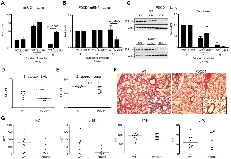 IFNλ regulates PDCD4 in vivo. (A) qRT-PCR analysis of miR-21 in the lungs of WT and IL-28R −/− mice following infection with USA300, µ ± SD. (B) qRT-PCR analysis of PDCD4 mRNA in the lungs of WT and IL-28R −/− mice following infection with USA300, µ ± SD. (C) Western blot analysis of PDCD4 in the lungs of WT and IL-28R −/− mice following infection with USA300, µ ± SD. (D) Numbers (CFU) of USA300 recovered from BAL of WT and PDCD4 −/− mice following 18 hours of infection. (E) Numbers (CFU) of USA300 recovered from lung tissue of WT and PDCD4 −/− mice following 18 hours of infection. (F) Trichrome stained lungs from WT and PDCD4 −/− mice following and 18 hour USA300 infection (original magnification 100x, insert 400x). (G) ELISA analysis of individual cytokines in BAL of WT and PDCD4 −/− mice. Data are representative of at least 2 independent experiments.