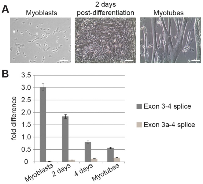 Splicing to include exon 3a is a developmentally regulated event in skeletal muscle. ( A ) Microscopy of cell cultures before, during and after differentiation. C2C12 myoblasts were grown to 70% confluence and induced to differentiate in DMEM+10% horse serum. Partially differentiated cultures containing both myoblasts and myotubes were observed by 2 days post-differentiation. After 48 hours, medium was replaced with DMEM+2% horse serum and 10 µM Ara-C and cultured for an additional 4 days. ( B ) qPCR of <t>RNA</t> harvested in <t>Trizol</t> showed that concurrent with a decrease in normal Actg1 , splicing to generate alternative Actg1 increases during differentiation into myotubes. Expression of both the normal and alternative transcripts was normalized to Ppia and is presented as fold-difference compared to skeletal muscle. A two-tailed type 2 Student's T-test was used to compare expression differences between time points. For all time points compared, p
