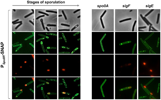 Fluorescence of a P spoIIR -SNAP fusion in strain 630Δerm and in a spo0A , sigF or sigE mutant. Cells of the C. difficile 630Δerm strain, and of the spo0A , sigF and sigE mutants carrying a P spoIIR -SNAP Cd transcriptional fusion in a multicopy plasmid were collected 24 h of following inocculation in SM broth. Cells were labelled with the fluorescent substrate TMR to allow localization of SNAP Cd production driven by the spoIIR promoter, stained with the DNA marker DAPI and the membrane dye MTG and examined by phase contrast and fluorescence microscopy.