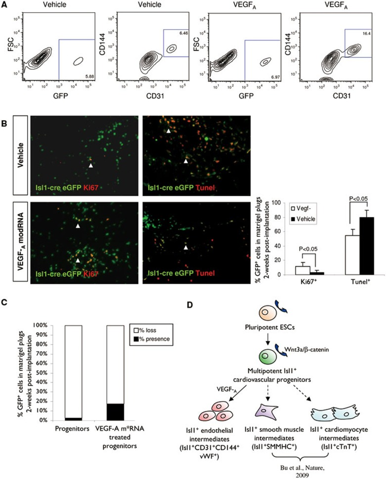 VEGF-A drives endothelial differentiation and promotes survival via increased proliferation and reduced apoptosis of the human Isl1 + progenitors in vivo . (A) FACS analyses to determine the percentage of CD144 + CD31 + ECs differentiated from the human Isl1-cre eGFP + cells isolated from matrigel plugs following incubation in the presence of vehicle or VEGF-A modRNA 2 weeks post s.c. implantation. (B , C) Cell counting to determine the percentage of proliferation (eGFP + Ki67 + by immunostaining), apoptosis (eGFP + Tunel + by immunostaining) or survival (total eGFP + cells by FACS) of the human Isl1-cre eGFP + cells in the vehicle- or VEGF-A modRNA-treated matrigel plugs two weeks post s.c. implantation. (D) Model for the proposed cell fate switch of the human Isl1 + progenitors following VEGF-A treatment.