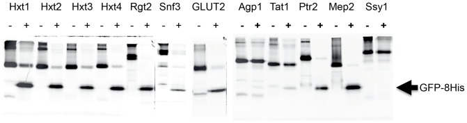 TEV protease digests of Ni-NTA purified transporter- and transceptor GFP-fusions. TEV protease digestions of the indicated GFP-fusions purified by Ni-NTA affinity chromatography. Digestions were analyzed by SDS-PAGE using in-gel fluorescence to visualize the GFP-fusions and the released GFP-8His. (−) undigested; (+) digested with TEV protease. Released GFP-8His is indicated with an arrow.