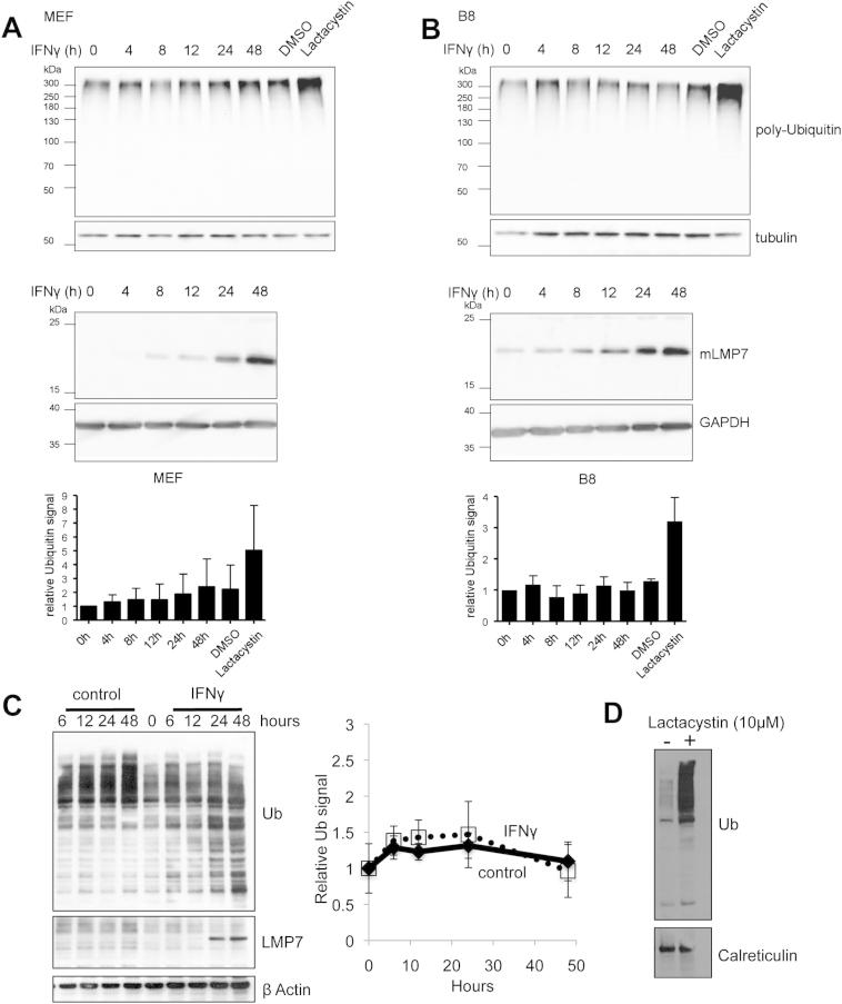 IFNγ Treatment Does Not Cause a Significant Accumulation of Polyubiquitin Conjugates during the Induction of Immunoproteasomes, Related to Figure 1 (A and B) Murine embryonic (A) and B8 (B) fibroblasts were stimulated with 100U/ml IFNγ for the indicated time periods. As a control for ubiquitin accumulation, cells were treated with the proteasome inhibitor lactacystin (10μM, 4hr) or vehicle (DMSO). The cells were then lysed by sonication in 25mM HEPES pH 7.4, 1mM ATP, 1mM DTT, 5mM MgCl 2 and 10% glycerol. Lysates were subsequently centrifuged for one hour at 100,000 x g. Protein concentrations of the lysates were determined using the DC Protein Assay (Biorad) and equal amounts of protein were separated by SDS-PAGE and analyzed by western blotting. α-tubulin served as a loading control. One representative experiment out of three independent experiments with similar outcomes is shown. The induction of LMP7 by IFNγ stimulation was confirmed by immunoblot analysis; GAPDH served as a loading control. The ubiquitin levels were determined by densitometric analyses (ImageJ) of five different western blots; shown are the mean values ± SD obtained after normalization to the loading control and relative to the value for unstimulated cells which was set to unity. (C and D) HeLa cells were treated with 100U/ml IFNγ as described (C) or with 10 μM lactacystin for 4 hr (D). The cells were lysed with nonionic detergent according to the methods described by Seifert et al. (20 mM TRIS-HCl, pH 7.5, 10 mM EDTA, 100 mM NaCl, 1% NP40, 10 μM MG-132, 5 mM NEM and Complete Protease Inhibitor Cocktail (Roche)) and immunblotted for ubiquitin (C, left). The ubiquitin levels, (relative to the β-actin control) were determined by densitometric analyses (ImageJ) as described (C, right). The mean values ± SEM for three replicates are shown (C).