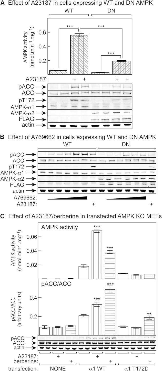 Evidence that ACC Phosphorylation in G361 Cells Is Mediated by AMPK, and Effects of A23187 and Berberine in AMPK Knockout MEFs Expressing α1-T172D Mutant (A) FLAG-tagged inactive (D157A) mutant of AMPK-α2 was stably expressed by homologous recombination in G361 cells carrying an Flp recombinase target site (see Experimental Procedures ) to generate dominant-negative (DN) cells. The graph shows AMPK activity (mean ± SEM, n = 4) measured in immunoprecipitates from control (WT) and DN cells with and without treatment with 10 μM A23187, while the pictures below show results of western blotting to determine expression and phosphorylation of various proteins. (B) As in (A), except the cells were treated with increasing concentrations of A769662 (30, 100, 300, 500, 1000 μM) or 10 μM A23187. (C) Effects of A23187 and berberine on AMPK activity and ACC phosphorylation in AMPK KO MEFs that were either untransfected or had been transfected with DNAs encoding myc-tagged AMPK-α1 (wild-type or T172D mutant), AMPK-β2, and AMPK-γ1. Data are mean ± SEM (n = 4). Significant differences from control without A23187 or berberine are shown.