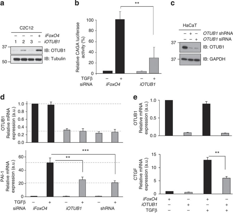 Depletion of OTUB1 represses TGFβ-induced transcription. ( a ) C2C12 cells were transfected with three different siRNAs (#1, #2 and #3) targeting mouse OTUB1 (300 pM/10-cm dish each) and lysed 48 h after transfection. Extracts were resolved by SDS-PAGE and immunoblotted with OTUB1 and tubulin antibodies. ( b ) C2C12 cells stably expressing a SMAD3-dependent TGFβ-responsive CAGA-luciferase reporter construct were transfected with iFoxO4 or iOTUB1# 1. Cells were treated with or without 50 pM TGFβ for 6 h before lysis and luciferase activity was measured. Data are represented as mean and error bars indicate s.d. ( n =3). ( c ) HaCaT cells stably expressing shRNA against OTUB1 or transfected with control (−) or OTUB1 siRNA (300 pM/10-cm dish each) for 48 h were lysed, and extracts were resolved by SDS-PAGE and immunoblotted with OTUB1 and GAPDH antibodies. ( d ) HaCaT cells, transfected with human OTUB1 siRNA, human FoxO4 siRNA, or stably expressing OTUB1 shRNA, were treated with 50 pM TGFβ for 4 h before RNA isolation. Relative expression levels of indicated mRNAs were analysed by qRT-PCR. Data are represented as mean and error bars indicate s.d. ( n =6). ( e ) HaCaT cells depleted of human OTUB1 or FoxO4 by RNAi were treated with 50 pM TGFβ for 1 h. TGFβ was then washed off and SB505124 (1 μM) added. RNA was isolated 45 min after TGFβ removal. Relative expression levels of OTUB1 and CTGF mRNAs were analysed by qRT-PCR. Data are represented as mean and error bars indicate s.d. ( n =6). Statistical significance of differences between experimental groups was assessed with Student's t -test. ** P