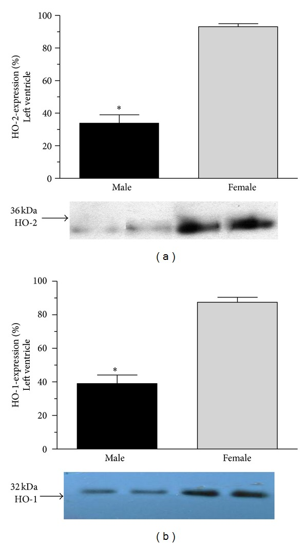 Heme-oxygenase expression (HO-2 and <t>HO-1</t> expressed as %) in the cardiac left ventricle of male (the black square) and female (the grey square). Data are expressed as means ± S.E.M. of the results of a minimum of 10 rats per group. Statistical significance: * P