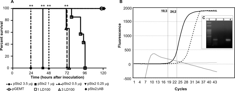(A) Mice displayed a lethal dose-related response to pStx2. Survival rates of mice injected with different doses of pStx2 are shown. Mice injected with pStx2ΔAB or pGEMT were used as negative controls. Mice injected with 1 LD 100 and 3 LD 100 of purified Stx2 were used as positive controls. (B) Stx2 mRNA was detected in the liver. A real-time-PCR curve using cDNA from livers of mice inoculated with pStx2 (dotted line) or pGEMT (gray line) is shown. As a positive control, 50 pg of plasmid pStx2 (bold line) was used. (C) DNA electrophoresis. Lane 1, 50-bp ladder; lane 2. cDNA from livers of mice inoculated with pStx2; lane 3, cDNA from livers of mice inoculated with pGEMT; lane 4, pStx2 was used as positive control.