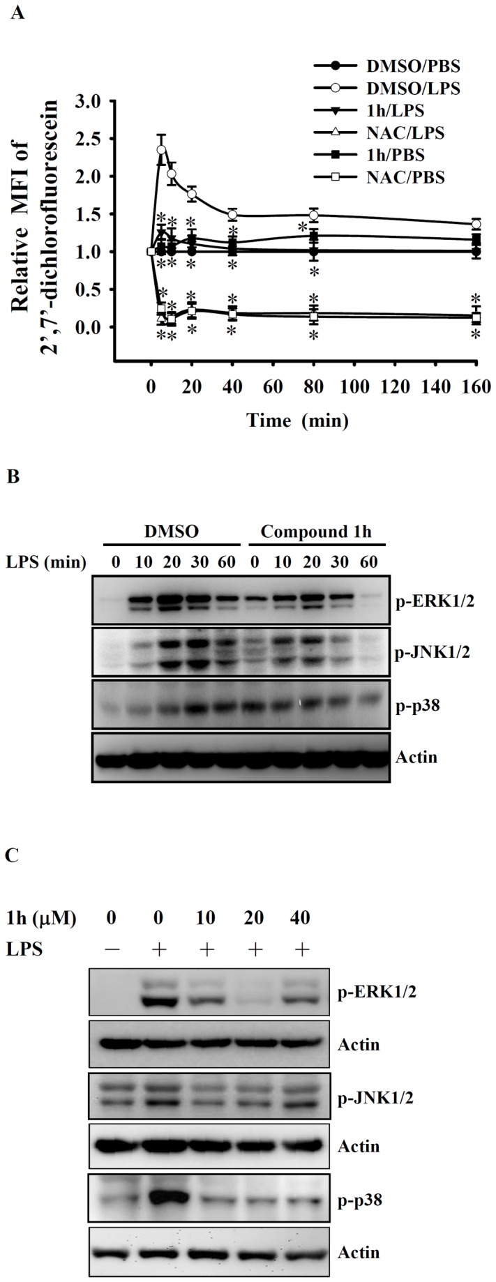 Effect of compound 1h on ROS production and MAPK phosphorylation in LPS-activated macrophages. In ( A ), RAW 264.7 macrophages (5 × 10 5 /ml; 1 ml) were incubated for 30 min with compound 1h (20 µM), N-acetyl cysteine (NAC; 10 mM), or DMSO (vehicle), then 2', 7'-dichlorofluorescein diacetate (2 µM) was added for 30 min, followed by LPS (1 µg/ml) stimulation for the indicated time, then ROS levels were measured by detection of the mean fluorescence intensity (MFI) of the fluorophore carboxyl-DCF and expressing this value relative to that at time zero. In ( B ), RAW 264.7 macrophages (5 × 10 5 /ml; 1 ml) were incubated for 30 min with compound 1h (20 µM) or DMSO, then LPS (1 µg/ml) was added and incubation continued for 0-60 min, then phosphorylation of ERK1/2, JNK1/2, and p38 was analyzed by Western blotting and expressed relative to actin expression and as a fold increase compared to the control group at 0 time. In ( C ), J774A.1 macrophages (5 × 10 5 /ml; 1 ml) were incubated for 30 min with 10-40 µM compound 1h or DMSO, then LPS (1 µg/ml) was added and incubation continued for 20 min, then phosphorylation of ERK1/2, JNK1/2, and p38 was analyzed as in B. In ( A ), the data are expressed as the mean ± SD for three separate experiments, while, in ( B ) and ( C ), the results are representative of those obtained in three different experiments. * indicates a significant difference at the level of p