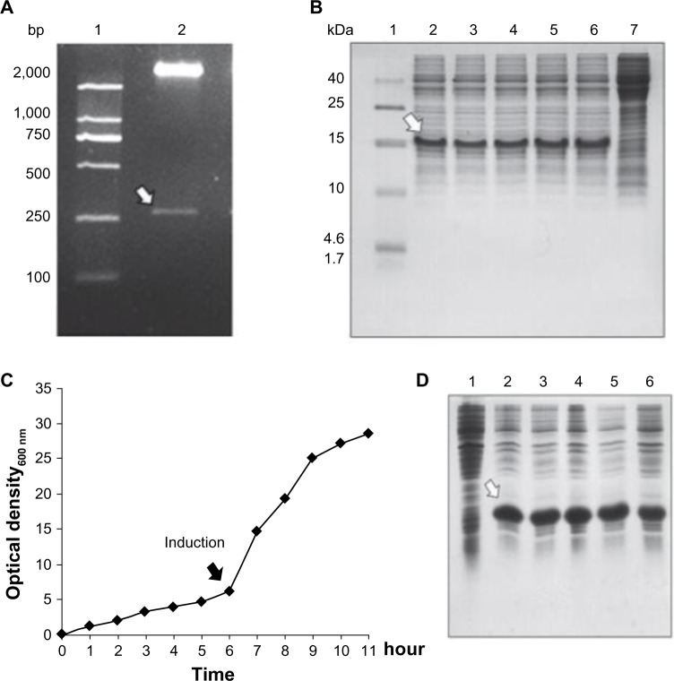 Cloning, expression, and large-scale cultivation of dimeric thymosin beta 4 (DTβ4) engineered bacteria. ( A ) Two entire complementary DNA sequences of thymosin beta 4 (Tβ4) were constructed into a prokaryotic expression plasmid with a small DNA linker (GGTTCT). The results show a 267 bp fragment with correct sequence as expected (arrow). ( B ) Five colonies obtained after the transformation of Escherichia coli were randomly picked to test the protein expression on a small scale with sodium dodecyl sulfate polyacrylamide gel electrophoresis. After isopropyl β-D-1-thiogalactopyranoside (IPTG) induction, a new protein (arrow) appeared in each culture pellet and accounted for over 15% of all the bacteria proteins (1: molecular ladder; 2–6: protein expression of picked five clones; 7: protein expression without IPTG induction). ( C ) Bacterial growth curve of <t>BL21/DTβ4</t> in a 10 L fermenter (the arrow indicates the induction time). ( D ) DTβ4 expression (arrow) during fermentation (1: DTβ4 expression without IPTG induction; 2–6: DTβ4 expression every hour after IPTG induction). Abbreviation: DNA, deoxyribonucleic acid.