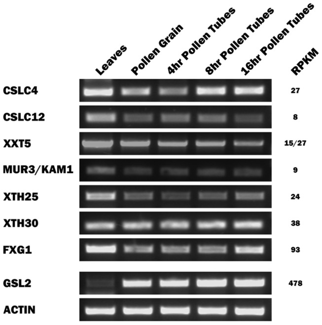 Expression profiles of XyG-related genes in various N. alata tissues. RT–PCR was carried out using the indicated cDNA template and primers (see Table S3 ) specific for each of the XyG-related gene listed in Table 1 . RT-PCR for each template using actin-specific primers (positive control) is also shown.