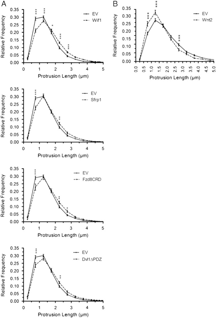 Expression of Wnt inhibitors or Wnt2 shifts the distribution of dendritic protrusion lengths. (A) Relative frequency distributions of dendritic protrusion length comparing Wif1, Sfrp1, Fzd8CRD and Dvl1ΔPDZ expressing neurons to EV control. (B) Relative frequency distribution of protrusion length comparing Wnt2 expressing neurons to EV control. n = number of neurons: EV(A) n = 31, Wif1 n = 34, Sfrp1 n = 23, Fzd8CRD n = 25, Dvl1ΔPDZ n = 25; EV(B) n = 29, Wnt2 n = 25. *** p