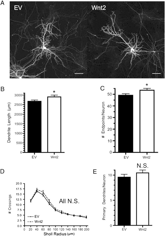 Wnt2 overexpression is sufficient to increase cortical dendrite length. (A) Representative cortical neurons expressing either EV or Wnt2. Quantification of the total dendrite length per neuron (B) and the number of dendritic endpoints per neuron (C) for each treatment. (D) Sholl analysis of dendritic complexity comparing Wnt2 expressing neurons to control. (E) Quantification of the number of primary dendrites per neuron for each treatment. * p