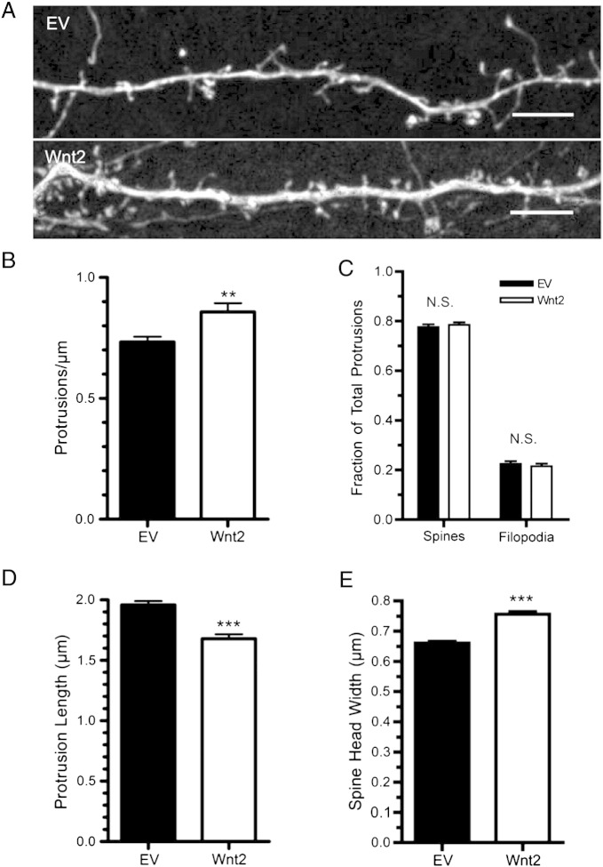 Wnt2 overexpression increases dendritic protrusion density and influences spine shape on cortical neurons. (A) Representative dendritic segments of cortical neurons expressing either EV or Wnt2. (B) Quantification of dendritic protrusion density. (C) Percent of all dendritic protrusions classified as either spines or filopodia. Quantification of average protrusion length (D) and average spine head width (E) for each treatment. *** p