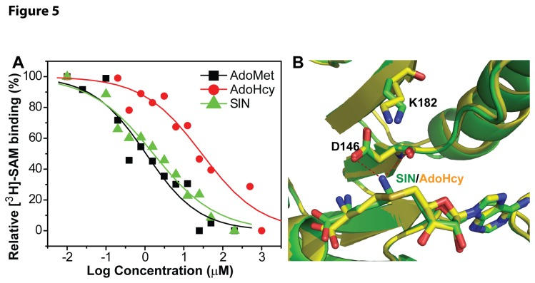 AdoHcy binds the DENV3 MTase with a much weaker affinity than do AdoMet and SIN. ( A ) Dose response of inhibition of the [ 3 H]-SAM-MTase complex formation by AdoMet (black), AdoHcy (red), and SIN (green). The biotinylated DENV3 MTase and 3 H-labeled SAM were incubated with or without compounds AdoMet, AdoHcy, and SIN. A two-fold dilution series was shown for each compound. The reaction mixtures were mixed with the <t>streptavidin-coated</t> <t>SPA</t> beads and quantified using a Microbeta 2 scintillation counter. ( B ). Superposition of the crystal structures of the MTase-SIN complex (green) [ 23 ] and the MTase-SAH complex (yellow) [ 19 ]. SAH and SIN are shown in stick representation. Atomic color coding is as follows (unless otherwise specified): carbon in yellow/green, oxygen in red, nitrogen in blue, and sulfur in orange. Potential hydrogen bonds are depicted in red dashed lines.