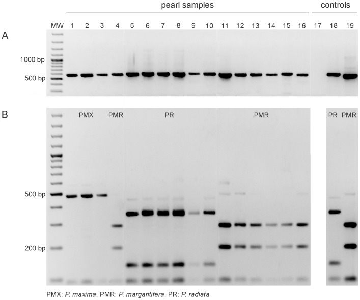 A PCR-RFLP assay of the ITS2 region applied to pearls from Pinctada margaritifera , P. maxima and P. radiata . (A) PCR products of 575 bp ( P. margaritifera ), 571 bp ( P. maxima ) and 590–91 bp ( P. radiata ) obtained with ITS2 universal primers (5.8S-F and 28S-R) and (B) RFLP patterns of ITS2 amplicons (from A) obtained after digestion with <t>Rsa</t> I. MW: molecular weight size marker, 100-bp DNA ladder; lanes 1–3: P. maxima (PMX) pearls; lane 4: P. margaritifera (PMR) pearl; lanes 5–10: P. radiata (PR) pearls; lanes 11–16: P. margaritifera pearls; lane 17: PCR negative control; lanes 18 and 19: P. radiata and P. margaritifera positive controls. Note: The P. maxima positive control is shown in Figure 4 .