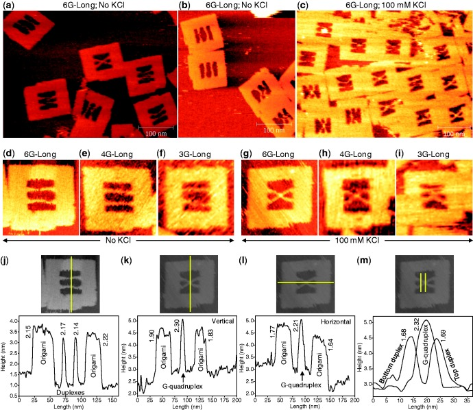 The Zoom-out AFM images of the DNA origami frame with incorporated duplexes recorded in the absence ( a, b ) and presence ( c ) of KCl for the G-repeat number of six. The parallel-shape of the incorporated strands can be clearly seen in the absence of KCl, indicating that no G-quadruplex is formed in this case. The X-shape in the presence of KCl evidences the formation of the quadruplex structure. The representative zoom-in images recorded in the absence of KCl for the sequences that contained six ( d ), four ( e ) and three ( f ) G-repeats. The same sequences in the presence of KCl are given, respectively, in ( g–i ). ( j ) The height profile estimated from the image given above the graph indicates that the origami frame and the incorporated duplexes are nearly same in height. ( k–l ) Height profiles estimated (vertical: k, and horizontal: l) indicate that the X-shape is slightly taller than the origami frame. This could be due to the formation of the four-stranded G-quadruplex which is taller than the duplexes in origami. ( m ) The height profiles of the duplexes and G-quadruplex regions. Yellow lines in the images indicate the locations where the height analyses were performed. The numbers in the graphs represent the estimated heights in nm of the peaks from the respective base line. All the images given in this figure were recorded for 67-mer top and 77-mer bottom duplexes. Image size: 125 × 125 nm (d–m). [KCl] = 0 or 100 mM; [MgCl 2 ] = 10 mM; [Tris-HCl] = 20 mM, pH 7.6.