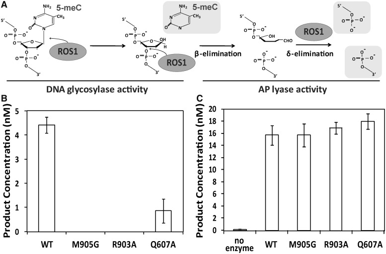 Q607A, M905G and R903A mutant proteins lack DNA glycosylase activity on 5-meC:G pairs but retain AP liase activity. ( A ) Schematic diagram of ROS1 DNA glycosylase/AP lyase activity on 5-meC. ROS1 excises 5-meC as a free base and then cleaves the phosphodiester backbone at the 5-meC removal site by successive β,δ-elimination. ( B ) DNA glycosylase assay. The generation of incision products was measured by incubating purified WT ROS1 or mutant variants (20 nM) at 30°C for 4 h with a double-stranded oligonucleotide substrate (20 nM) containing a single 5-meC:G pair. After incubation, NaOH (100 nM) was added and samples were immediately transferred to 90°C for 10 min. Products were separated in a 12% denaturing polyacrylamide gel and the amounts of incised oligonucleotide were quantified by fluorescent scanning. ( C ) AP liase assay. A double-stranded oligonucleotide substrate containing an AP site opposite G (20 nM) was incubated at 30°C for 2 h in the presence of purified WT ROS1 or mutant variants (20 nM). Samples were treated with NaBH 4 (300 mM) at 0°C for 30 min to stabilize nonprocessed AP sites and neutralized with 100 mM Tris–HCl, pH 7.4. Products were separated in a 12% denaturing polyacrylamide gel and the amount of incised oligonucleotide was quantified by fluorescent scanning. Values are mean ± SE (error bars) from three independent experiments.