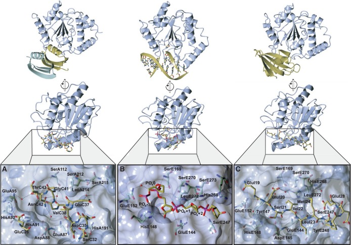 Comparative orientations of UDG bound to p56, DNA, and ugi, with detailed views of the UDG-binding pocket containing both substrate and inhibitor elements on a UDG surface. UDG residues are shown with blue carbon atoms as is the surface, whereas substrate and inhibitor residues are shown with yellow carbon atoms. The second dimer of p56 is shown in green. ( A ) The p56 inhibitory helix bound to the HHV-1 UDG. Only the interacting side chains of the inhibitory helix and Glu26 of p56 are shown alongside UDG interacting residues. ( B ) Backbone of the uracil-containing strand of DNA bound to human UDG (PDB: 1SSP). ( C ) Residues of the ugi inhibitory strand bound to human UDG (PDB: 1UGH).
