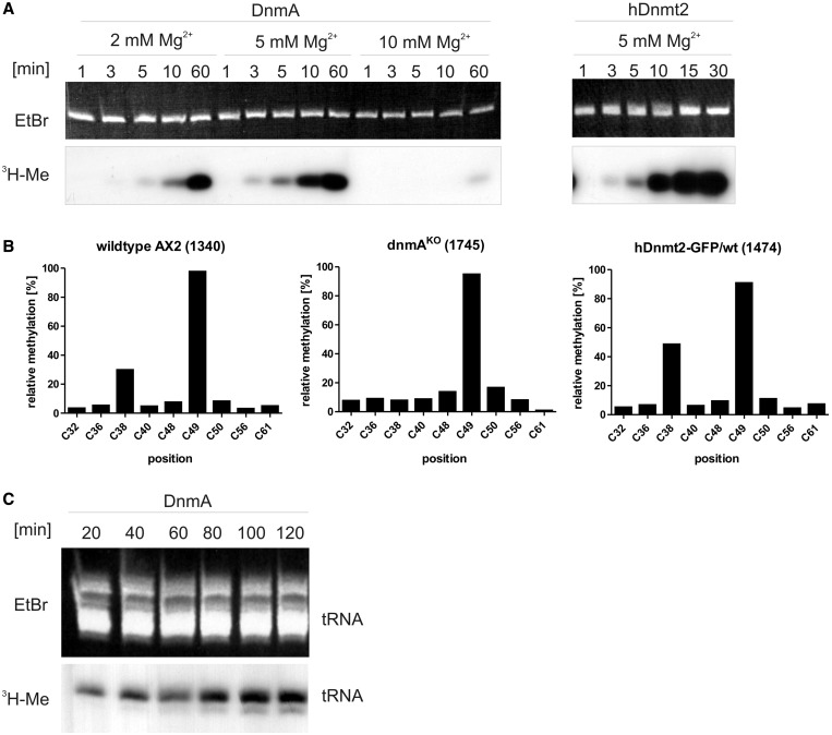 In vitro methylation of tRNA Asp(GUC) . ( A ) In vitro methylation of tRNA Asp(GUC) by DnmA at 2 mM, 5 mM and 10 mM MgCl 2 and by hDnmt2 at 5 mM Mg 2+ . The upper panel shows ethidium bromide staining of the in vitro transcripts separated in a denaturing polyacrylamide gel, the lower panel shows incorporated 3 H-Me in the tRNAs. Reactions were run for the times indicated. ( B ) In vivo methylation of cytosines in tRNA Asp(GUC) from different D. discoideum strains. Results of the RNA bisulfite sequencing (454 pyrosequencing) are given in percentage of reads. Numbers of sequence reads are shown in brackets. C49 is methylated by a different methyltransferase and thus serves as an internal standard. All 22 tRNA Asp(GUC) genes result in the same transcript, and no isoacceptors are encoded in the D. discoideum genome. ( C ) In vitro methylation of small enriched RNA of a dnmA KO strain ( ex vivo methylation). The methylation reaction was done for the times indicated.