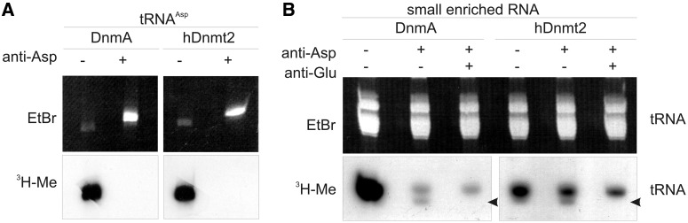 Ex vivo methylation and blocking assay. ( A ) Methylation of in vitro transcribed tRNA Asp(GUC) was completely blocked when a complementary antisense oligo was hybridized. ( B ) Using enriched small RNA from dnmA KO cells, ex vivo methylation in the tRNA size class was differentially lost when antisense oligos to tRNA Asp(GUC) and tRNA Glu(UUC) were hybridized before the methylation reaction. The oligo against tRNA Glu(UUC) also covers tRNA Glu(CUC) with minor mismatches (see Supplementary Figure S2 ). Even with both oligos, a significant amount of 3 H incorporation still remained. The upper panel shows the ethidiumbromide stained gel to demonstrate equal loading, the lower panel shows the fluorogram. The arrow marks a band that was specifically lost when the anti tRNA Glu(UUC) oligo was used.