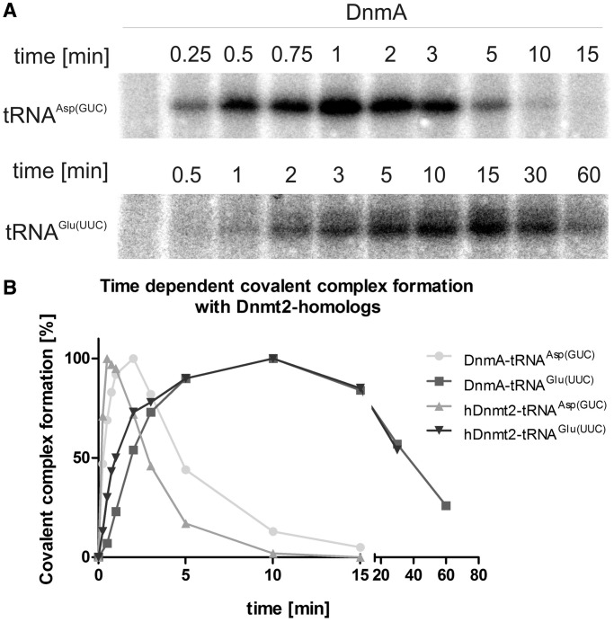 Formation and turnover of tRNA-methyltransferase complexes. Turnover of covalent complexes of tRNA substrates with DnmA and hDnmt2. ( A ) Examples of time courses on covalent complex formation with tRNA Asp(GUC) and tRNA Glu(UUC) . ( B ) Complex bands in A were quantified and presented on a time scale.