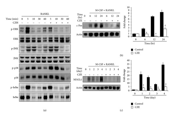 Effects of CZE on RANKL-induced intracellular signaling and the expression of transcription factors in osteoclasts. BMMs were treated with M-CSF and RANKL in the presence or absence of CZE (25 μ g/mL) for the indicated time. Lysate (30 μ g) was subjected to SDS-PAGE and analyzed by immunoblotting. (a) MAPK (ERK, JNK, and p38) activation was measured by using their respective antibodies. (b)-(c) The expression of c-Fos and NFATc1 was detected by anti-c-Fos and NFATc1 antibody, respectively. Fold change normalized by actin is presented in the right panel. Data are representatively obtained from three independent experiments and are expressed as the mea n ± SD. * P