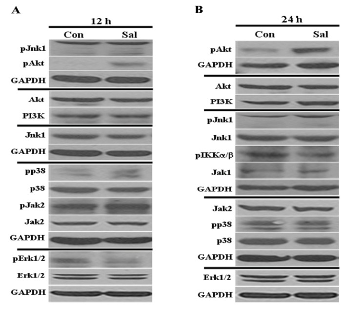 Low concentration of Sal highly activates Akt. Hs578T cell extracts were collected at ( A ) 12 h and ( B ) 24 h after treatment with 0.5 μM Sal or from Dimethylsulfoxide (DMSO)-treated samples (Con). Western blot analyses were performed using antibodies against pJnk1, pAkt, Akt, PI3K, Jnk1, pp38, p38, pJak2, Jak2, pErk1/2, Erk1/2, pIKKα/β, Jak1, and glyceraldehyde 3-phosphate dehydrogenase <t>(GAPDH).</t>
