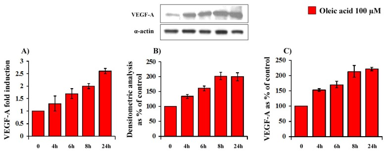 Time-dependent (4–24 h of incubation with 100 μM oleic acid) influence of oleic acid on VEGF-A mRNA transcription (Panel A ); protein synthesis (Panel B ) and secretion (Panel C ) in VSMC from LZR.