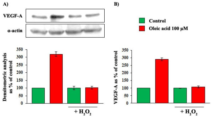 Influence of a 6-h incubation with 100 μM oleic acid on VEGF-A synthesis (Panel A ) and secretion (Panel B ) in VSMC from LZR without or with a 24-h pre-incubation with H 2 O 2 . H 2 O 2 completely blunts the above mentioned effects of oleic acid on VEGF-A ( n = 6, p = 0.0001 vs. oleic acid alone).