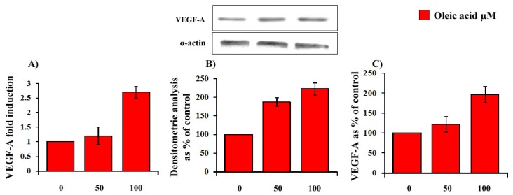 Dose-dependent (24 h of incubation with 50–100 μM oleic acid) influence of oleic acid on VEGF-A mRNA transcription (Panel A ); protein synthesis (Panel B ) and secretion (Panel C ) in VSMC from LZR.