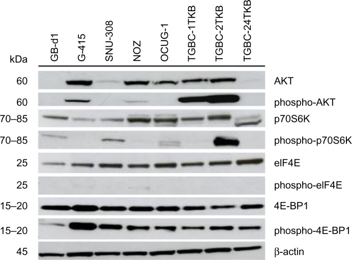 Activation of AKT/mTOR pathway in human gallbladder cancer cell lines. Total protein (35 μg) from eight gallbladder cancer cell lines were subjected to immunoblotting using antibodies directed against AKT, phospho-AKT, p70S6K, phospho-p70S6K, eIF4E, phospho-eIF4E, 4E-BP1, and phospho-4E-BP1. Protein loading was normalized using an antibody recognizing β-actin. Abbreviations: kDa, kiloDalton; β-actin, beta actin; AKT, protein kinase B; mTOR, mammalian target of rapamycin; p70S6K, p70S6 kinase; eIF4E, eukaryotic translation initiation factor 4E; 4E-BP1, eukaryotic translation initiation factor 4e-binding protein 1.