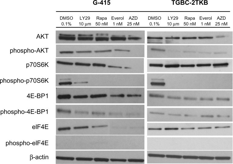 Effect of mTOR inhibitors of mTOR on AKT/mTOR signaling pathway in two gallbladder cancer cell lines. G-415 and TGBC-2TKB cells were grown in Roswell Park Memorial Institute 1640 medium supplemented with 10% fetal bovine serum and treated with LY294002 (10 μM), rapamycin (50 nM), RAD001 (1 nM), and AZD5085 (25 nM) for 18 hours. Control cells received an equivalent amount of solvent (0.1% dimethylsulfoxide). Western blot analysis was carried out using antibodies against the total and phosphorylated portion of AKT, p70S6K, 4E-BP1, and eIF4E proteins. Abbreviations: DMSO, dimethyl sulfoxide; LY29, LY294002 PI3 kinase inhibitor; Rapa, rapamycin; Everol, everolimus; AZD, AZD-8055.
