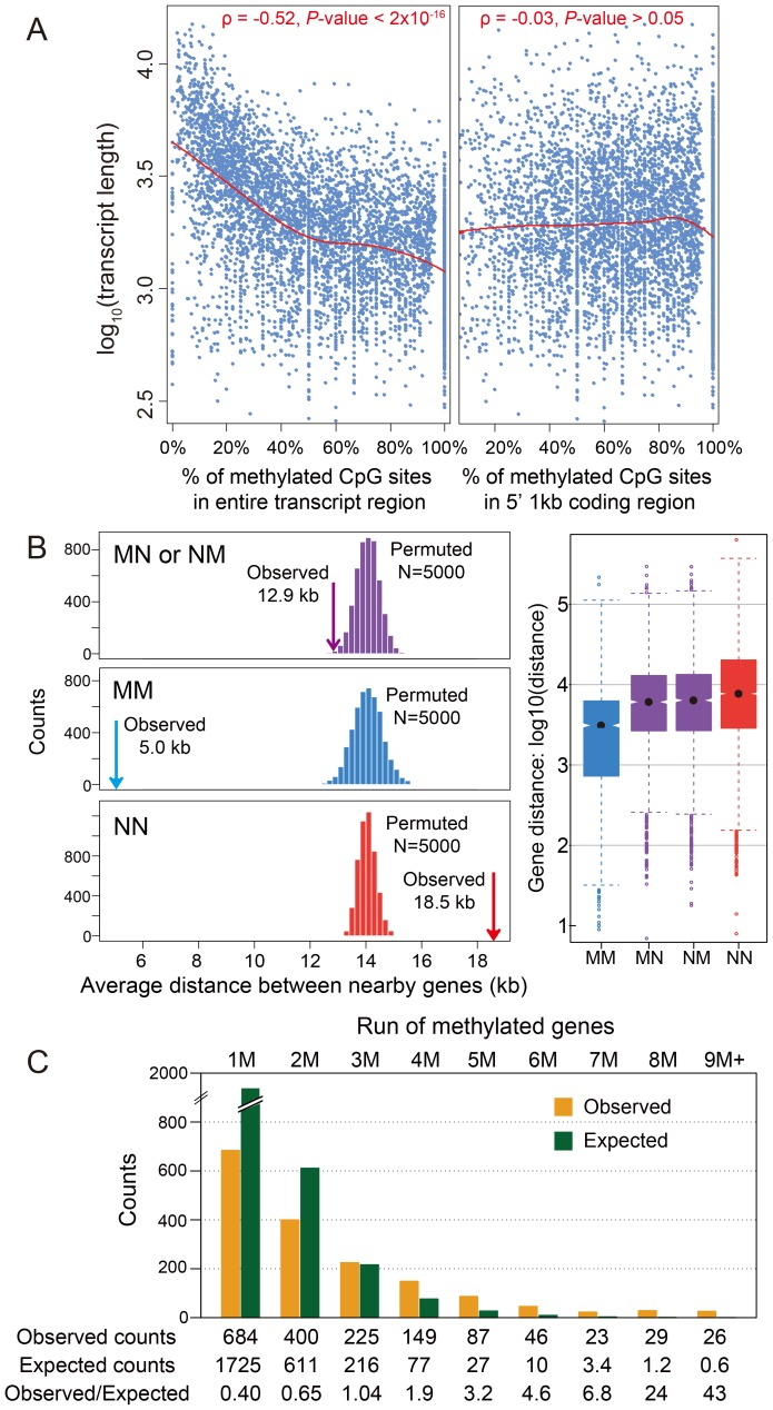 DNA methylation and gene length, exon number and gene locations. (A) Scatterplot for gene length (log 10 ) and percentage of methylated CpG sites for methylation genes in the entire transcript region (left) and in 5′ 1 kbp coding region (right). The fitted lines using non-parametric local regression are shown in red. (B) Left: Distance between neighboring methylated genes (MM), non-methylated genes (NN) and methylated-non-methylated genes (MN or NM). The expected distributions for the three classes calculated by permuting the methylation status (N = 5,000) were plotted (MM: blue; NN: red; MN or NM: purple). The observed mean distance for each group was shown using arrows. Right: Distribution of the distance for the four classes (MM, NN, MN and NM). (C) Distribution of observed (orange) and expected (blue) counts for consecutive run of methylated genes. The expected counts were computed assuming the methylation status is randomly distributed.
