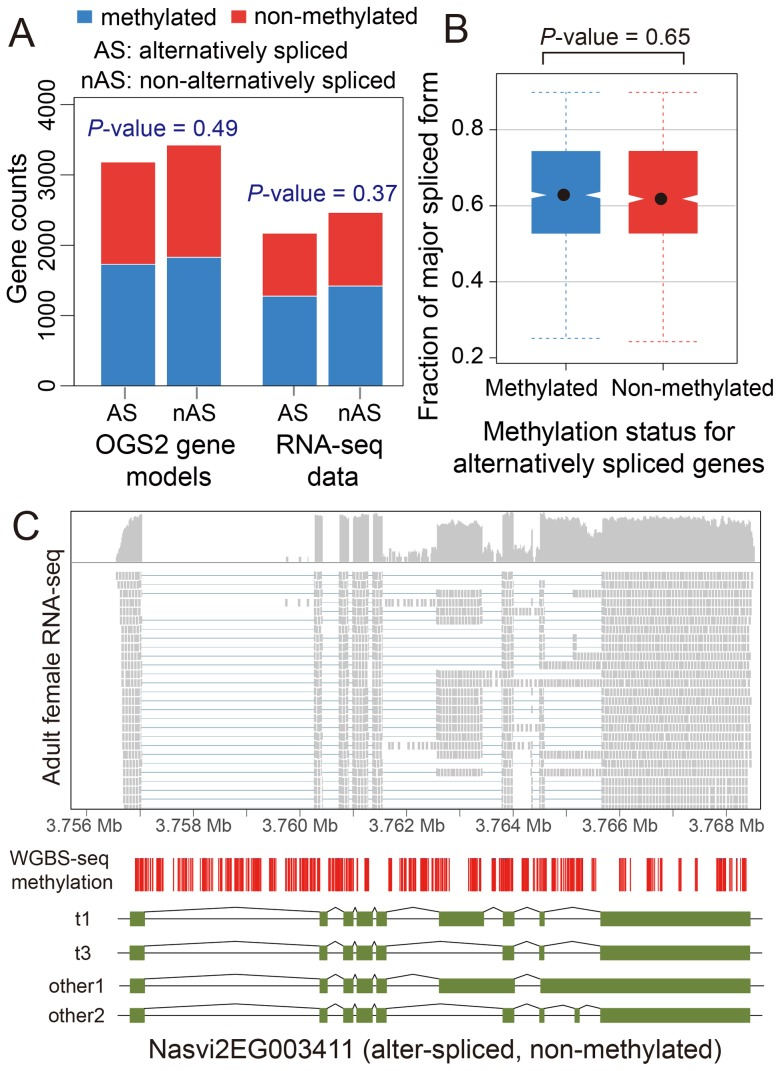 DNA methylation and alternative splicing. (A) Counts of alternatively spliced and non-alternatively spliced genes with different methylation status from OGS2 gene models (left) and RNA-seq data (right). AS: alternatively spliced; nAS: non-alternatively spliced. Methylated is shown in blue and non-methylated shown in red. (B) Distribution of fraction of major spliced forms for alternatively spliced methylated (blue) and non-methylated genes (red). (C) Gene expression, DNA methylation and alternative splicing profile for a non-methylated gene Nasvi2EG003411. Plotted at the top is the IGV browser screenshot showing adult female RNA-seq coverage (on log scale) and read alignments in the gene region. Plotted at the bottom are the CpG methylation profile at covered CpG sites from WGBS-seq data and the exon model of the alternatively spliced transcripts from OGS2 gene models. A vertical bar was drawn for each CpG at its position in the gene, color-coded by the methylation percentage in proportion to the bar length (blue: methylated Cs; red: non-methylated Cs). All 587 covered CpGs in the gene region were non-methylated. Two of the three OGS2 transcript variants, Nasvi2EG003411t1 (labelled as t1) and Nasvi2EG003411t3 (labelled as t3), were covered in the RNA-seq data with 47% and 41% of the transcript abundance, respectively. Two of the remaining minor transcript variants (other1 and other2) were also plotted.