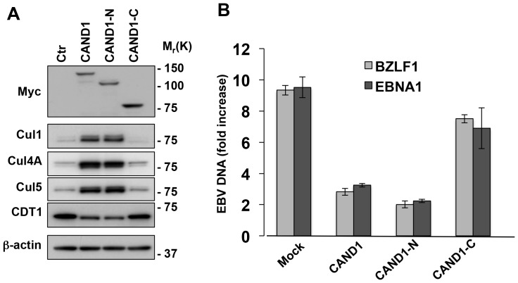 CAND1 rescues the degradation of cullins and inhibits virus replication. A . The degradation of cullins is rescued in cells transfected with the full-length and N-terminus of CAND1. The productive cycle was induced in Akata-Bx1 transfected with plasmids expressing the full-length, N-terminal or C-terminal domain of CAND1 or, as control, the empty vector. Twenty-four after transfection the cells were analyzed in western blots with the indicated antibodies. One representative experiment out of three is shown. B . CAND1 and the CAND1 N-terminus inhibit virus replication. The amount of EBV DNA was quantified by Q-PCR specific for unique sequence in the BZLF1 and EBNA1 genes. The mean ± SE of three independent experiments is shown.
