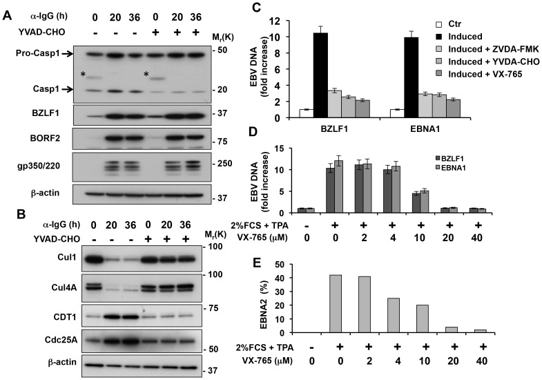 Inhibition of caspase-1 prevents the inactivation of nuclear CRLs and hampers EBV DNA replication. A. Caspase-1 is constitutively active in Akata-Bx1 and is further activated during virus replication but is not required for expression of the lytic cycle genes. Akata-Bx1 cells were induced in the presence or absence of caspase-1 inhibitors and western blots were probed as indicated. The asterisks in the caspase-1 blot indicate residual IgG heavy chains detected by the secondary antibody. One representative experiment out of three is shown. B. Inhibition of caspase-1 prevents the degradation of cullins and stabilization of CRL substrates. Western blots of cell lysates produced as described in Figure 7A were probed with the indicated antibodies. One representative experiment out of three is shown. C. Inhibition of caspase-1 hampers EBV DNA replication. The amount of viral DNA was measure by BZLF1 and EBNA1 specific Q-PCR in control induced Akata-Bx1 and cells induced in the presence of the indicated caspase-1 inhibitors. Mean ± SE of three experiments. D. The productive virus cycle was induced in the EBV positive B95.8 cell line by culture in medium supplemented with 2% FCS and 20 ng/ml TPA in the absence or presence of increasing concentrations of the caspase-1 inhibitor VX-765. The synthesis of viral DNA was monitored after 48 h by BZLF1 and EBNA1 specific Q-PCR. Mean ± SE of three experiments. E. Spent supernatants were collected after 2 weeks and the presence of infectious virus was measured by the induction of EBNA2 specific immunofluorescence in infected EBV negative BJAB cells. The mean % EBNA2 positive cells recorded in two independent experiments is shown.