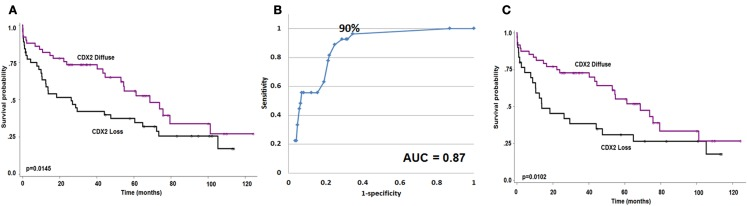 (A) Kaplan–Meier survival curve showing effect of <t>Cdx2</t> expression on overall survival ( n = 93). (B) ROC curve highlighting the strong predictive effect and specificity of loss of Cdx2 expression for MMR-deficiency. (C) Kaplan–Meier survival curve showing effect of Cdx2 expression on overall survival in MMR-proficient colorectal cancer patients only ( n = 78). Wilcoxon's test.