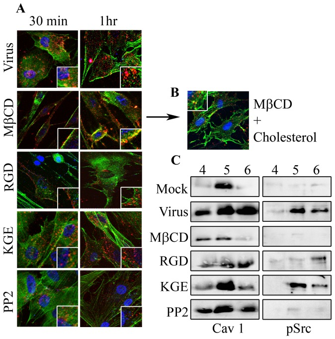 Cholesterol depletion impedes viral entry. A . Human corneal cells grown on slide chambers were pretreated with MβCD (5 mM), RGD-containing 15-mer (50 μM), a KGE-containing 15-mer otherwise identical to the RGD 15-mer (50 μM), or the Src kinase inhibitor PP2 (10 μM), and then infected with Cy3-labeled HAdV-D37 (red). MβCD pretreatment prevented virus from entering the cells both at 30 min and 1 hr post infection as compared to no pretreatment. RGD and PP2 reduced entry as compared to KGE treated or untreated cells. Co-staining with alexa-fluor488 phalloidin (green). Original magnification: 63X. Insets represent similarly magnified squares from each photomicrograph. B . Cholesterol was added to MβCD pretreated cells for one hr and then infected with Cy3-labeled HAdV-D37. Confocal microscopy revealed entry of viruses into the corneal cells. C . Detergent free lipid raft preparations in HAdV-D37 infected corneal cells, pretreated with MβCD, RGD 15-mer, KGE 15-mer, or PP2, and lysed at 1 hr post infection, followed by immunoblotting for caveolin-1 or phosphorylated Src (pSrc). Blots show increased caveolin-1 and pSrc upon viral infection, but reduced expression with cholesterol depletion or blocking of integrin aggregation (MβCD and RGD treatment, respectively). PP2 treatment did not effect caveolin-1 levels in infected cells, but did reduce pSrc.