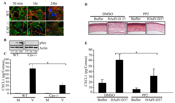 The role of caveolin-1 and Src kinase in HAdV entry and inflammation. A . C57BL/6J wild type (WT) and caveolin-1 -/- mice (on the C57BL/6J background) were injected intrastromally with Cy3-labeled (red) HAdV-D37 (10 5 tissue culture infectious doses) or buffer control, and the corneas harvested for confocal microscopy. Phalloidin (green) co-staining was used to better visualize the cells. Virus entry was apparent by 1 hr post infection in WT mice. In caveolin-1 -/- mice, virus remained mostly membrane bound in the first hour post infection and internalization appeared reduced at 24 hr compared to WT mice. B . Western blot analysis of the cornea from mice infected with HAdV-D37 revealed increasing pSrc at 1 and 24 hr post infection, while expression was minimal in untouched (uninfected) corneas. Caveolin-1 -/- mice did not show increased pSrc even after 24 hr infection. Actin controls are shown in the bottom panel. C . ELISA for CXCL1 chemokine performed on WT and caveolin-1 -/- mice corneas at 24 hr post infection with HAdV-D37. Infected caveolin-1 -/- mice corneas showed approximately 60% less CXCL1 expression as compared to infected wild type corneas (*p=.0001). Mock infected mice corneas did not produce any detectable CXCL1. D . Histology of PP2 or DMSO (control) pretreated corneas at 4 days post infection with HAdV-D37 or buffer control shows a reduction of keratitis with chemical inhibition of Src kinase. E . CXCL1 expression by ELISA of HAdV-D37 infected or mock infected corneas at 16 hr post infection pretreated with the Src kinase inhibitor PP2 (10 μM) or DMSO control demonstrates a significant reduction in chemokine expression due to Src inhibition (*p