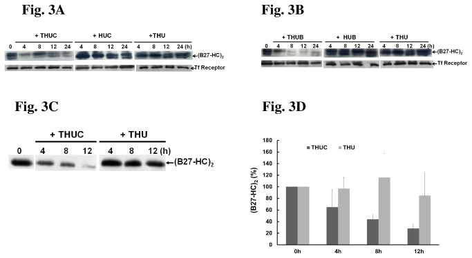 Treatment with either THUC or THUB reduces the formation of (B27-HC) 2 . After treatment with each protein for the indicated time point, membrane proteins were extracted. 50 μg of extract was resolved by non-reducing SDS-PAGE (10%) and immunoblotted with a BH2 monoclonal antibody and anti-transferrin (Tf) receptor antibody. Tf receptor serves as an internal control. (A) THUC treatment for 12 h, but not THU or HUC treatment, significantly decreased the levels of (B27-HC) 2 . (B) The level of (B27-HC) 2 is significantly reduced in C1R-B2704 cells treated with THUB. (C) The production of (B27-HC) 2 is reduced when PBMCs isolated from AS patients are treated with THUC. (D) The results obtained in Figure 3C are plotted. The amount of immunostaining observed at 0 h was set to 100%. The results shown are the mean levels of (B27-HC) 2 immunostaining observed in membrane proteins independently extracted from the PBMCs of five AS patients (mean ± SD, n = 5).