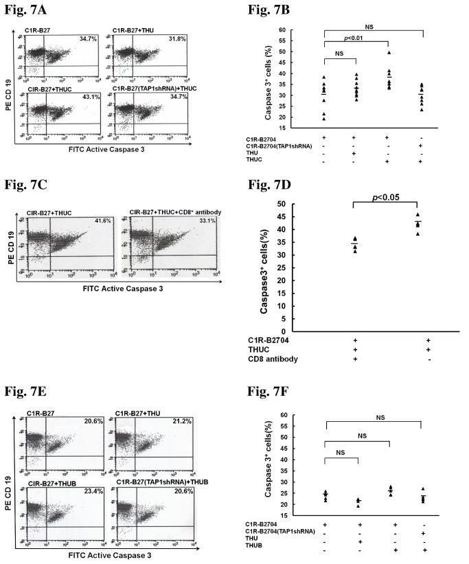 Treatment with THUC, but not THUB or THU, enhances apoptosis mediated by CD8 + T-cell cytotoxicity. (A) Treatment with THUC, but not THU, increases apoptosis mediated by CD8 + T-cell cytotoxicity. TAP1-knockdown abolishes the THUC-induced increase in apoptosis. PBMCs isolated from AS patients (n = 9) were treated with THUC, and stimulated with IL-2. CD8 + T cells were isolated from THUC-stimulated PBMCs. C1R-B2704 cells were stained with phycoerythrin-conjugated anti-CD19 antibodies and the apoptotic cells were stained with FITC-conjugated anti-active caspase 3 antibody. (B) The results obtained in Figure 7A are plotted. (C) The THUC-induced cell apoptosis mediated by CD8 + T-cell cytotoxicity is CD8-dependent. (D) The results obtained in Figure 7C are plotted. (E) Treatment with THUB cannot enhance apoptosis mediated by CD8 + T-cell cytotoxicity. (F) The resulted obtained in Figure 7E are plotted.