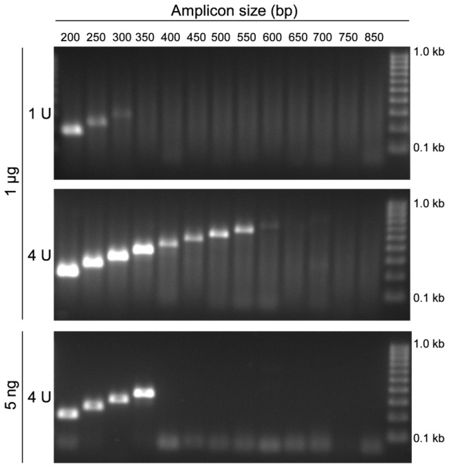 Successful PCR Amplification of Larger Fragments by Overcoming PCR Inhibition. PCR-amplified DNA fragments of different sizes within the PITX2 gene locus using template DNA from FFPE tissue. The PCR was carried out using 1 µg (upper and middle panel) and 5 ng (lower panel) template DNA in the presence of 1 U and 4 U Taq DNA polymerase, respectively.