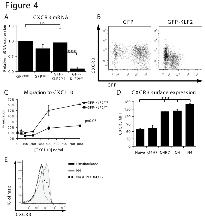 KLF2 represses CXCR3 expression and function. (A) Data show CXCR3 mRNA expression quantified by qRT-PCR in the indicated activated CD8 T cell populations normalised to GFP neg . (B) Data show flow cytometric analysis of CXCR3 surface expression and GFP expression in GFP pos or GFP-KLF2 pos activated CD8 T cells. (C) GFP-KLF2 neg and GFP-KLF2 pos activated CD8 T cells were competitively assayed for their ability to migrate to CXCL10. Data shown are the percentage of cells migrating (relative to input controls) at the given CXCL10 concentrations. (D) MFI of CXCR3 quantified by flow cytometry in naïve OT-1 CD8 T cells activated with N4, Q4, Q4R7 or Q4H7 for 24 hours. (E) CXCR3 expression measured by flow cytometry in naïve OT-1 CD8 T cells incubated with N4 peptide and PD184352 for 24 hours as indicated. Data in A, C D show mean + SEM of 3 independent experiments. Data in B and E representative of 3 independent experiments.