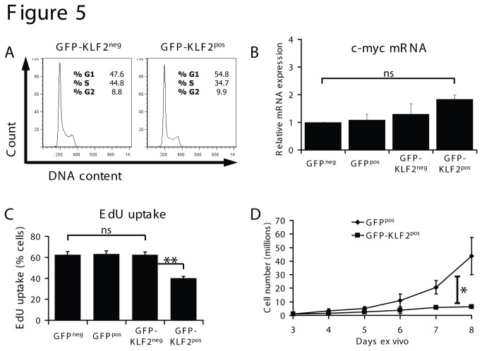 KLF2 re-expression inhibits proliferation but not via c-myc repression. (A) Data show the cellular DNA content of GFP-KLF2 neg and GFP-KLF2 pos activated CD8 T cells. Data are representative of 4 independent experiments. (B) Expression of c-myc mRNA in FACS purified activated CD8 T cells quantified by qRT-PCR (data normalised to GFP neg and show mean + SEM of 3 independent experiments). (C) DNA synthesis measured by EdU uptake in the T cell populations shown (data show mean percentage EdU uptake + SEM, n=3). (D) Cell counts of GFP pos and KLF2 pos activated CD8 T cells; data shown are mean ± SEM of 3 independent experiments.